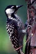 red-cockadedwoodpecker.jpg